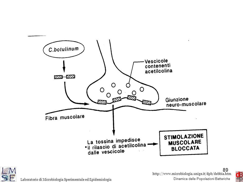 C. botulinum è largamente diffuso nell'ambiente, può contaminare alimenti in presenza di parziale o totale anaerobiosi (es. conserve sott'olio..). La tossina è distrutta a 80°C per 30min, non è quindi presente nei cibi adeguatamente sterilizzati, ma è resistente ai succhi gastrici. Introdotta con gli alimenti si assorbe nell'intestino e diffonde con bersaglio il SNP impedendo il rilascio di acetilcolina a livello della sinapsi colinergica a livello delle giunzioni neuromuscolari, con conseguente paralisi flaccida. Della tossina botulinica si conoscono almeno 7 diversi tipi antigenici A-G prodotti da differenti stipiti di C. botulinum e codificati da geni di volta in volta a collocazione cromosomica (A), plasmidica (G) o in un fago temperato integrato (C-D). Anche la t. botulinica viene sintetizzata come un unico peptide che viene poi scisso in 2 frammenti H e L tenuti insieme da un ponte disolfurico. Anche in questo caso H si lega al recettore ed L è una zincopeptidasi che interagisce con proteine che intervengono nel rilascio dell'acetilcolina: sinaptobrevina, proteina SNAP 25 e sintaxina. L'inibizione dell'esocitosi di acetilcolina blocca la trasmisssione dell'impulso nervoso alla muscolatura con conseguente paralisi flaccida.