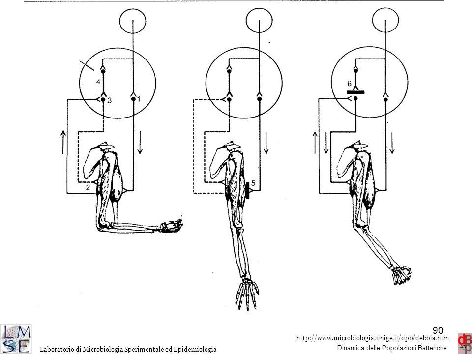 Diagramma semplificato del controllo nervoso dei muscoli che consentono la flessione e l estensione dell avambraccio, nel soggetto normale (a sinistra), nell intossicazione botulinica (al centro) e nell intossicazione tetanica (a destra). Nel soggetto normale, l impulso proveniente dal cervello (cerchio piccolo) eccita il neurone motore(1) nel midollo spinale (cerchio grande), dal quale l impulso viene trasmesso al bicipite che si contrae provocando la fles sione dell avambraccio. La contrazione del bicipite provoca lo stiramento del tricipite dai cui recettori (2) parte un impulso destinato ad eccitare i motoneuroni del tricipite (3) i quali provocherebbero la contrazione del tricipite se non fossero sotto il controllo di un neurone inibitore (4). Nell intossicazione botulinica si ha il blocco della liberazione di acetilcolina a livello della giunzione neuromuscolare (5). In questo modo l impulso nervoso non raggiunge il muscolo e si ha una paralisi flaccida. Nell intossicazione tetanica è bloccato l impulso nervoso inibitore (6) e si ha contemporaneamente la contrazione del bicipite e del tricipite con la conseguente paralisi spastica.