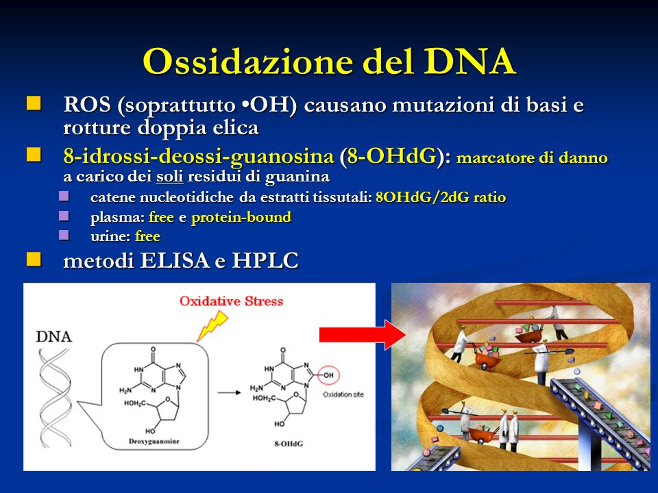 Ossidazione del DNA ROS (soprattutto •OH) causano mutazioni di basi e rotture doppia elica.