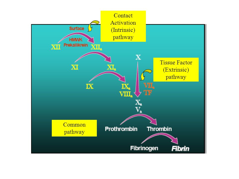 Contact Activation (Intrinsic) pathway