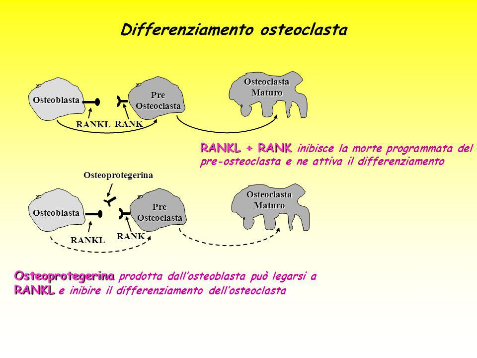 Differenziamento osteoclasta