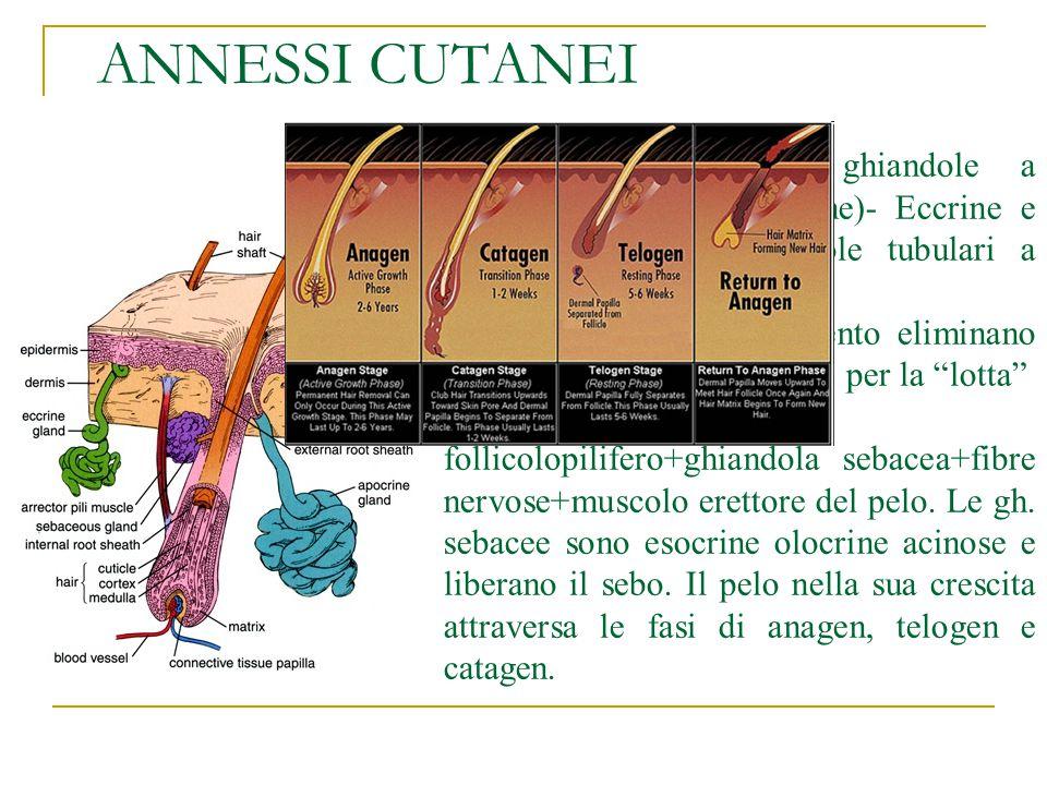 ANNESSI CUTANEI Ghiandole sudoripare: ghiandole a secrezione esterna (esocrine)- Eccrine e Apocrine - sono ghiandole tubulari a gomitolo.