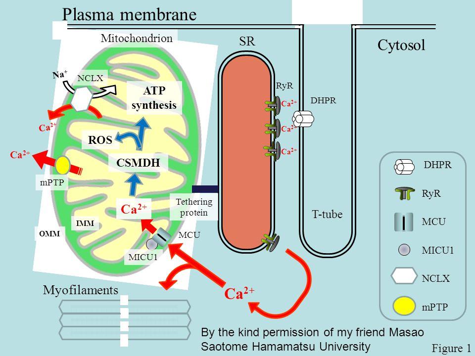 Plasma membrane Cytosol Ca2+ SR Ca2+ Myofilaments Mitochondrion ATP