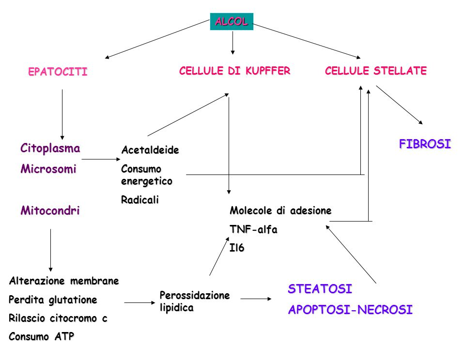 FIBROSI Citoplasma Microsomi Mitocondri STEATOSI APOPTOSI-NECROSI
