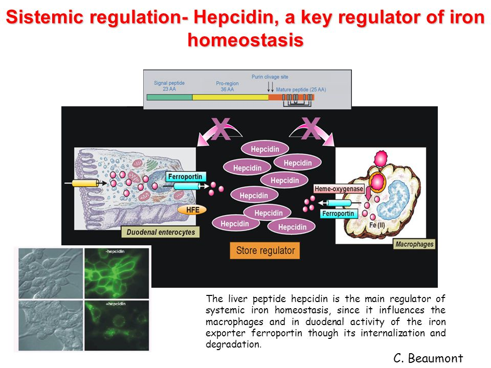 Sistemic regulation- Hepcidin, a key regulator of iron homeostasis