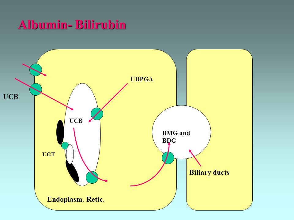 Albumin- Bilirubin UCB Biliary ducts Endoplasm. Retic. UDPGA UCB