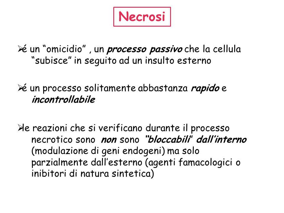 Necrosi é un omicidio , un processo passivo che la cellula subisce in seguito ad un insulto esterno.