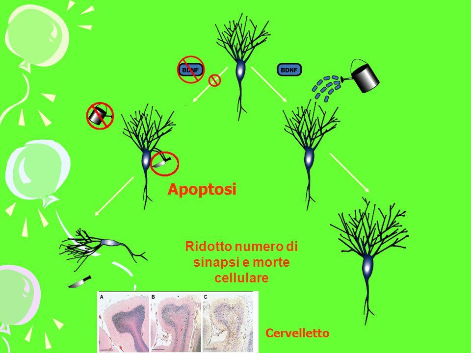 Ridotto numero di sinapsi e morte cellulare