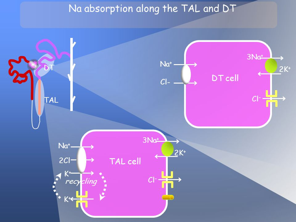 Na absorption along the TAL and DT