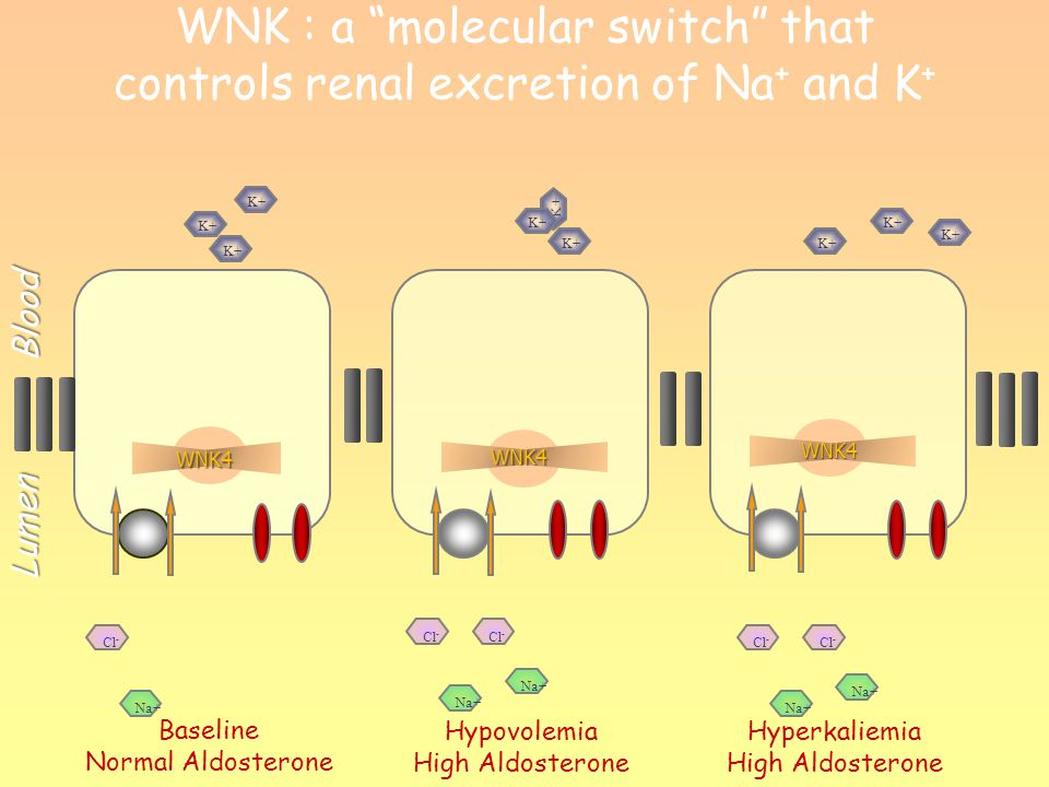 WNK : a molecular switch that controls renal excretion of Na+ and K+