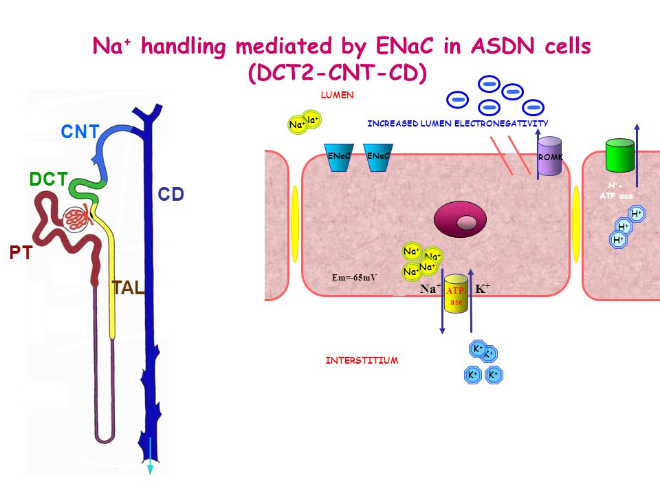 Na+ handling mediated by ENaC in ASDN cells