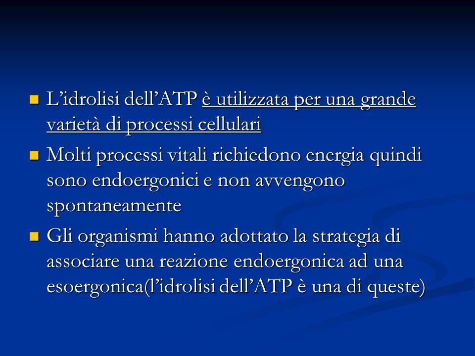 L'idrolisi dell'ATP è utilizzata per una grande varietà di processi cellulari
