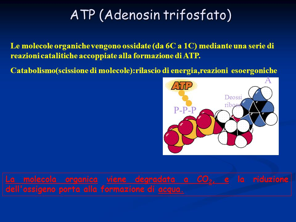 ATP (Adenosin trifosfato)