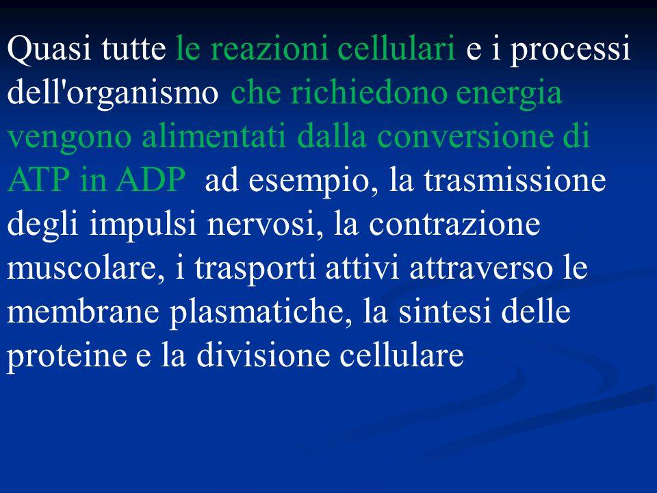 Quasi tutte le reazioni cellulari e i processi dell organismo che richiedono energia vengono alimentati dalla conversione di ATP in ADP ad esempio, la trasmissione degli impulsi nervosi, la contrazione muscolare, i trasporti attivi attraverso le membrane plasmatiche, la sintesi delle proteine e la divisione cellulare
