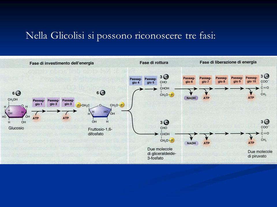Nella Glicolisi si possono riconoscere tre fasi: