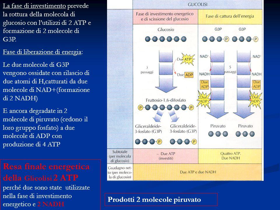 La fase di investimento prevede la rottura della molecola di glucosio con l'utilizzi di 2 ATP e formazione di 2 molecole di G3P.