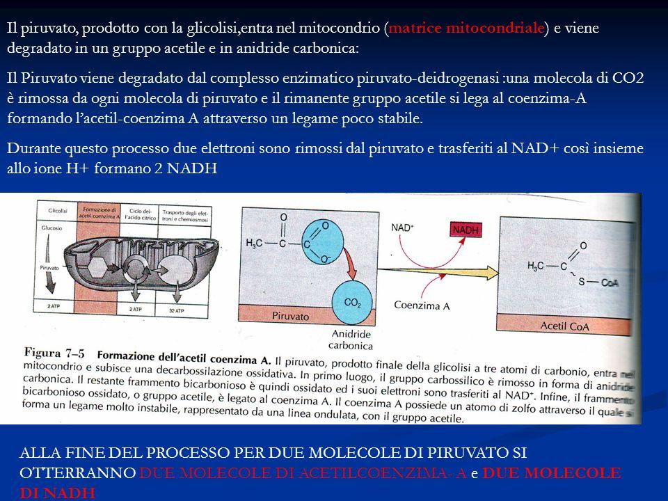 Il piruvato, prodotto con la glicolisi,entra nel mitocondrio (matrice mitocondriale) e viene degradato in un gruppo acetile e in anidride carbonica:
