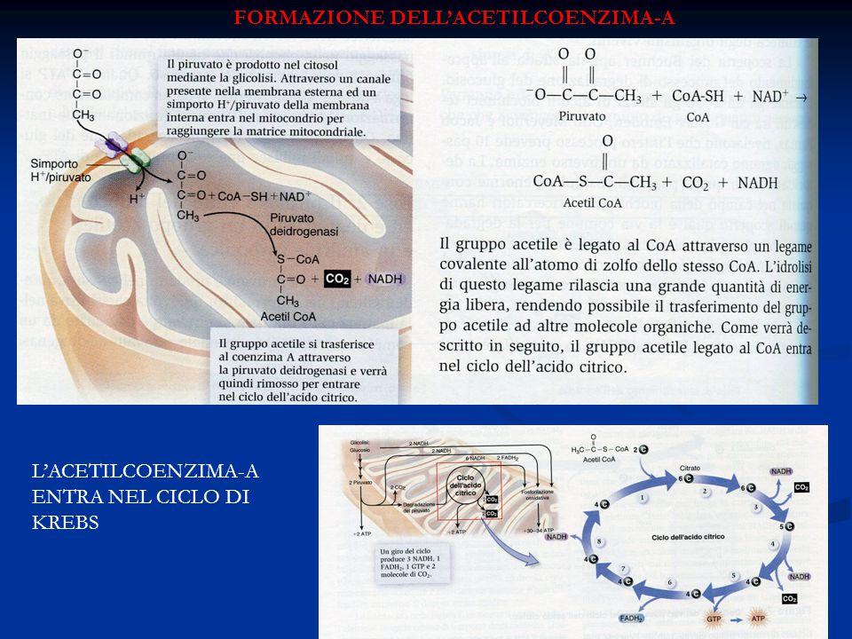 FORMAZIONE DELL'ACETILCOENZIMA-A