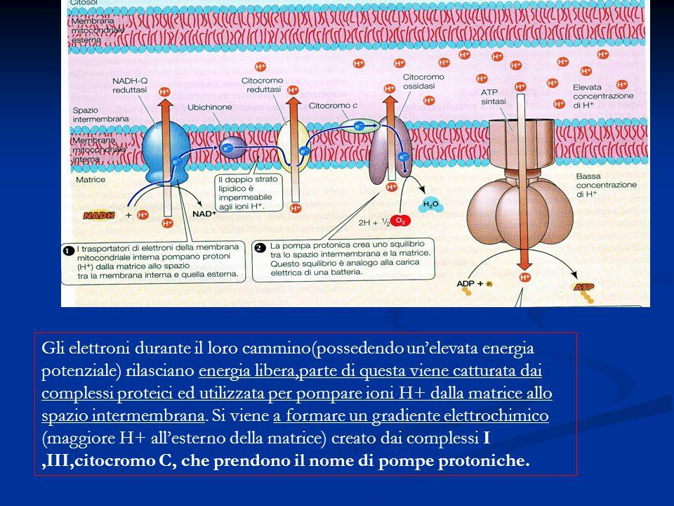 Gli elettroni durante il loro cammino(possedendo un'elevata energia potenziale) rilasciano energia libera,parte di questa viene catturata dai complessi proteici ed utilizzata per pompare ioni H+ dalla matrice allo spazio intermembrana.