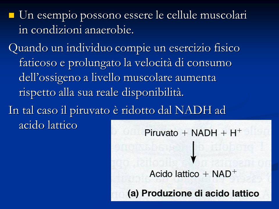 Un esempio possono essere le cellule muscolari in condizioni anaerobie.