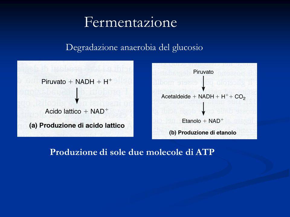 Fermentazione Degradazione anaerobia del glucosio