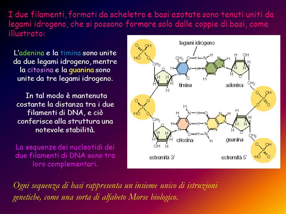 I due filamenti, formati da scheletro e basi azotate sono tenuti uniti da legami idrogeno, che si possono formare solo dalle coppie di basi, come illustrato: