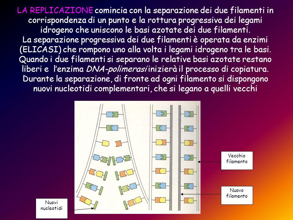 LA REPLICAZIONE comincia con la separazione dei due filamenti in corrispondenza di un punto e la rottura progressiva dei legami idrogeno che uniscono le basi azotate dei due filamenti.