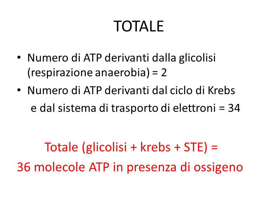 TOTALE Totale (glicolisi + krebs + STE) =