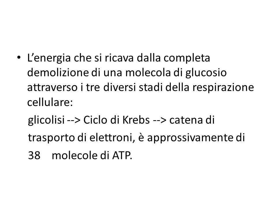 L'energia che si ricava dalla completa demolizione di una molecola di glucosio attraverso i tre diversi stadi della respirazione cellulare: