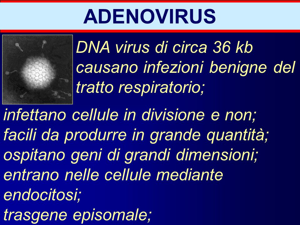 ADENOVIRUS DNA virus di circa 36 kb causano infezioni benigne del tratto respiratorio; infettano cellule in divisione e non;