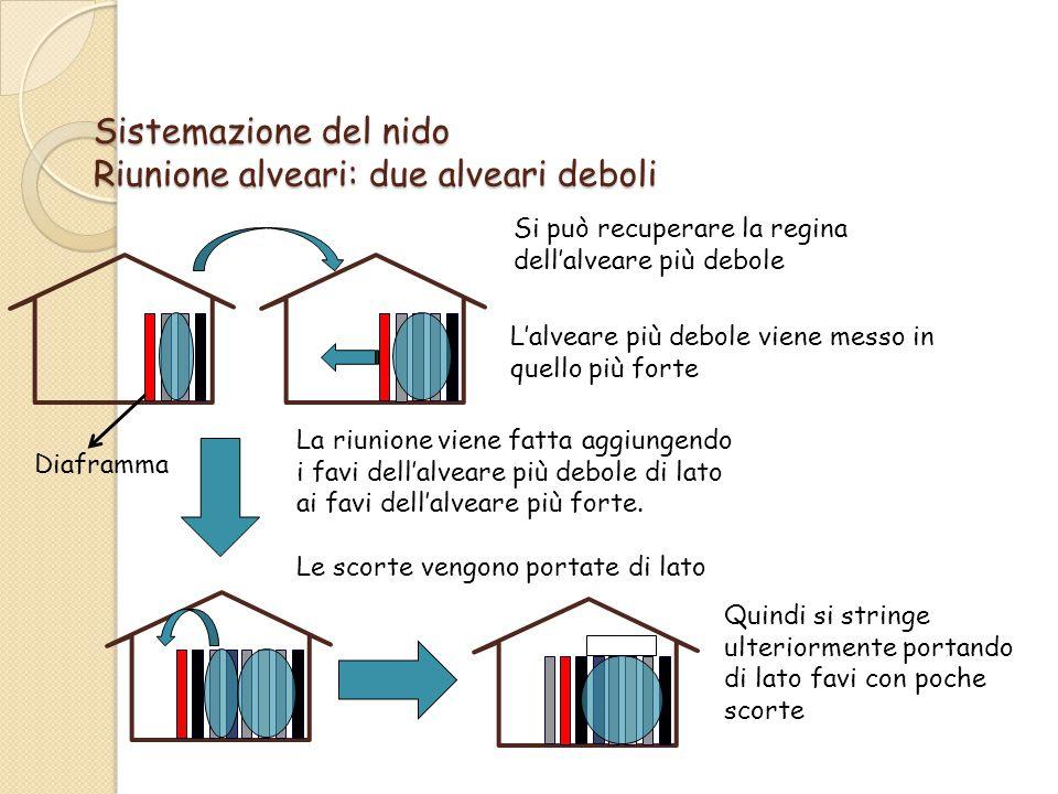 Sistemazione del nido Riunione alveari: due alveari deboli