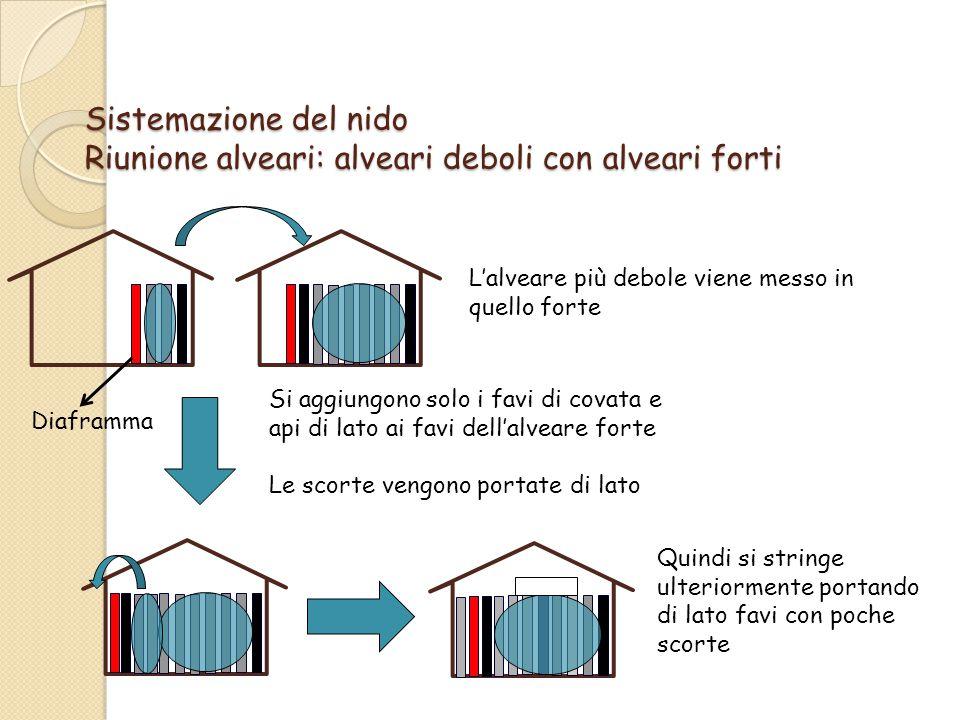 Sistemazione del nido Riunione alveari: alveari deboli con alveari forti