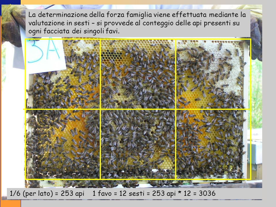 La determinazione della forza famiglia viene effettuata mediante la valutazione in sesti – si provvede al conteggio delle api presenti su ogni facciata dei singoli favi.