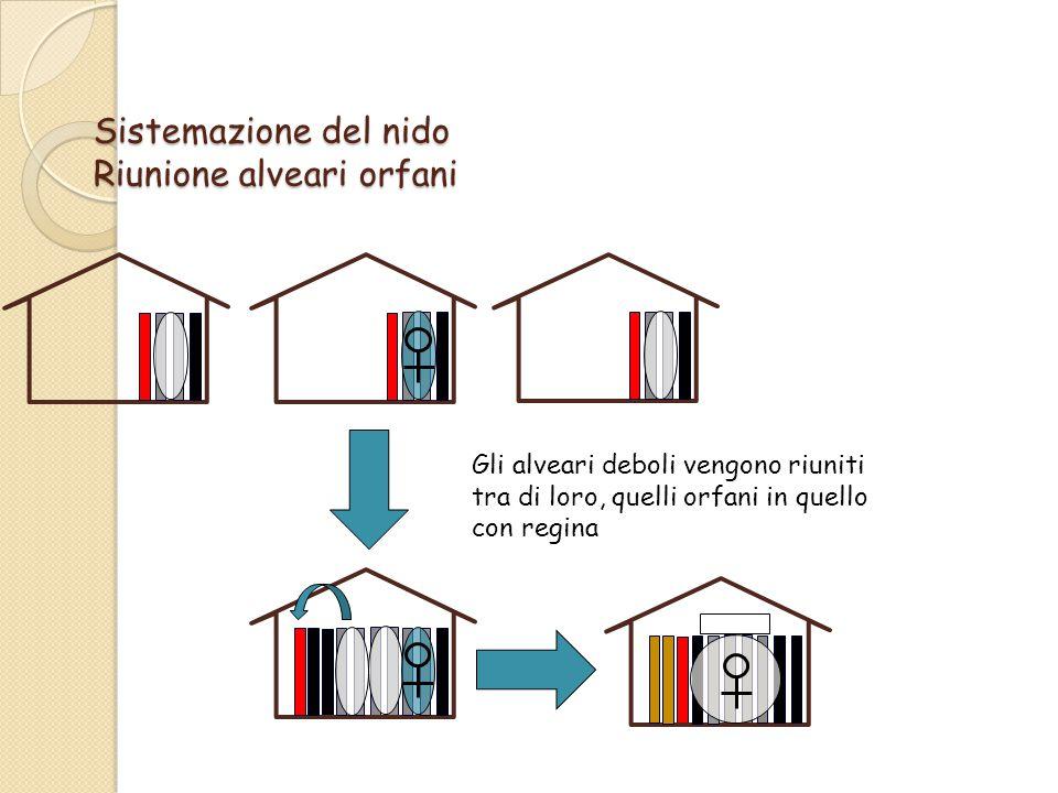 Sistemazione del nido Riunione alveari orfani