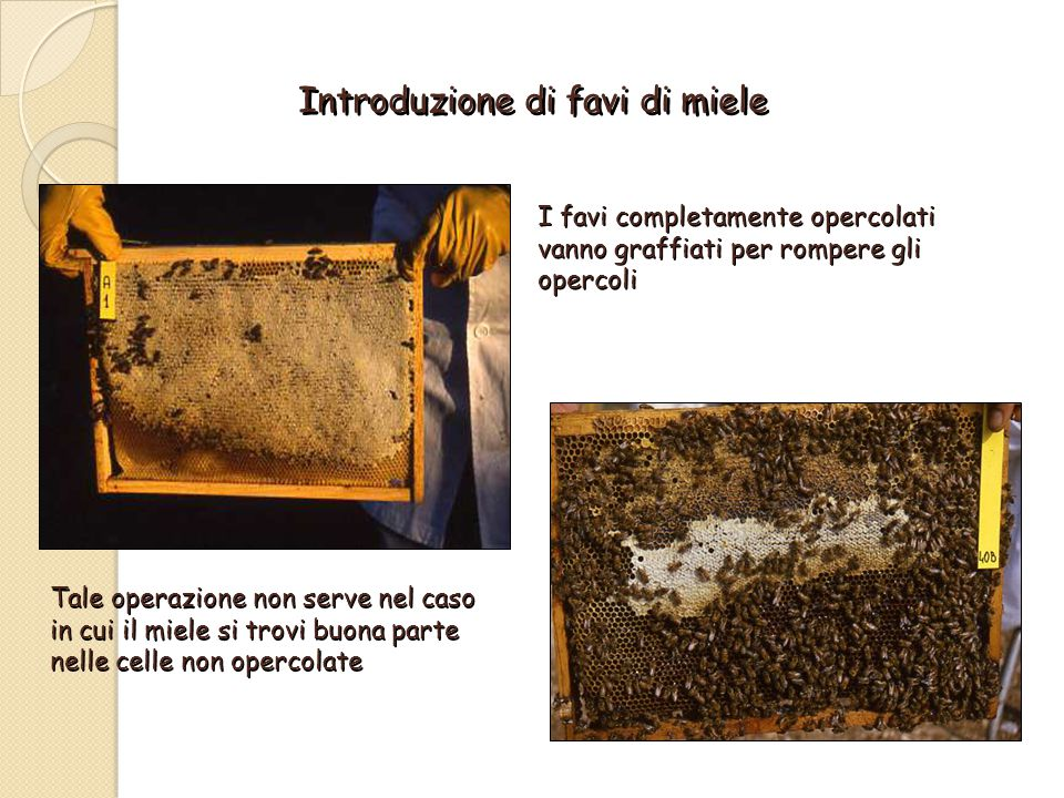 Introduzione di favi di miele