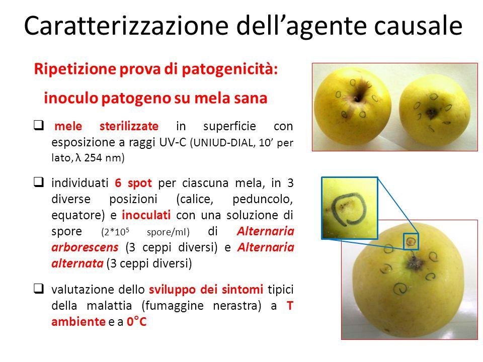 Ripetizione prova di patogenicità: inoculo patogeno su mela sana