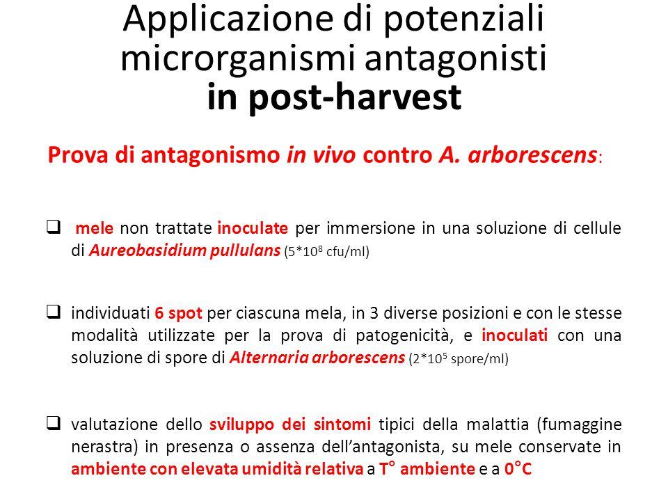 Applicazione di potenziali microrganismi antagonisti in post-harvest