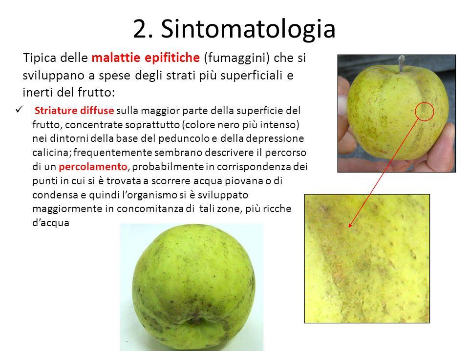 2. Sintomatologia Tipica delle malattie epifitiche (fumaggini) che si sviluppano a spese degli strati più superficiali e inerti del frutto: