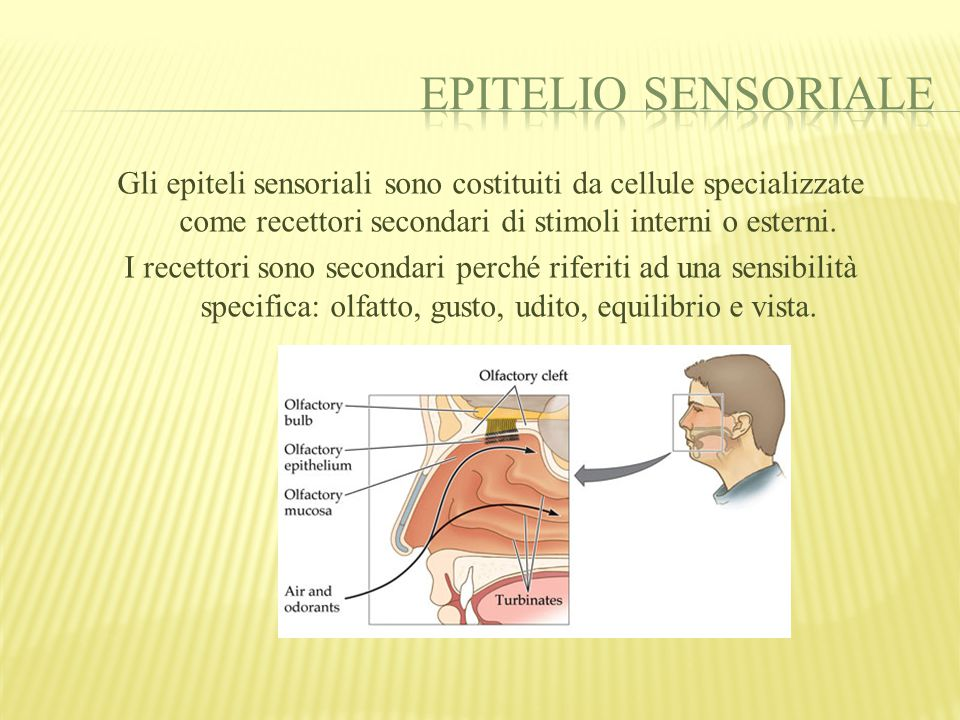 Epitelio sensoriale