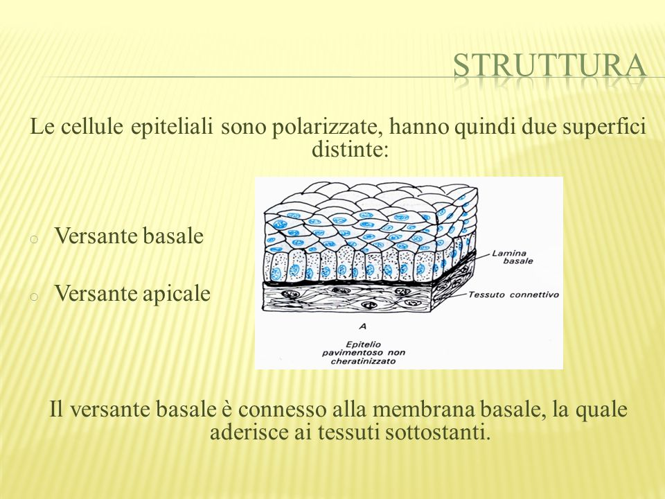 Struttura Le cellule epiteliali sono polarizzate, hanno quindi due superfici distinte: Versante basale.