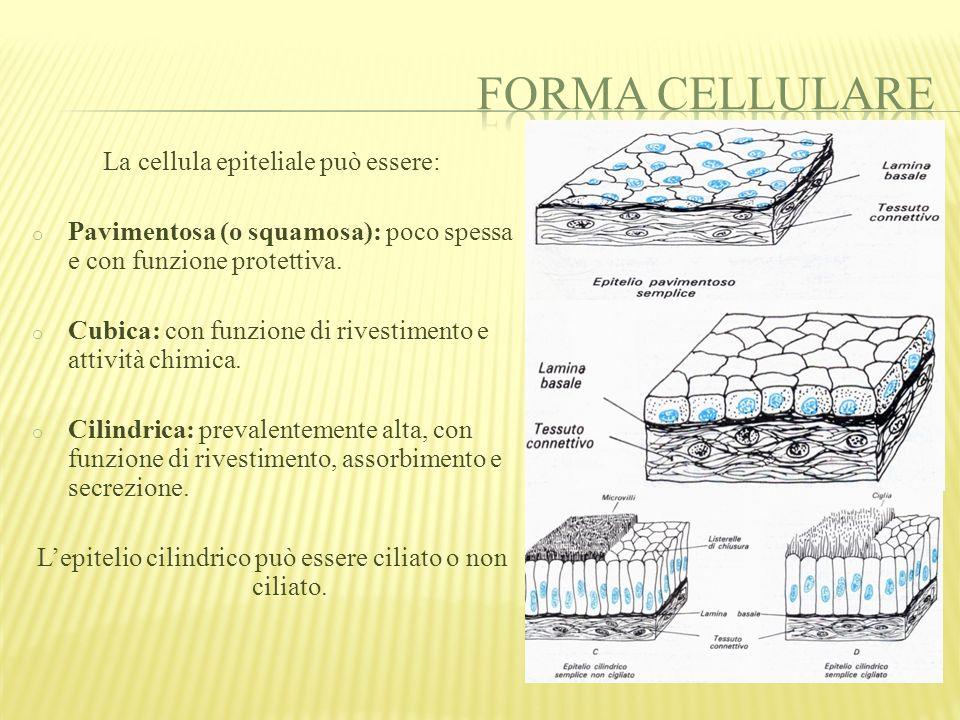 Forma cellulare La cellula epiteliale può essere: