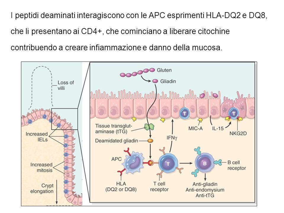 I peptidi deaminati interagiscono con le APC esprimenti HLA-DQ2 e DQ8, che li presentano ai CD4+, che cominciano a liberare citochine contribuendo a creare infiammazione e danno della mucosa.