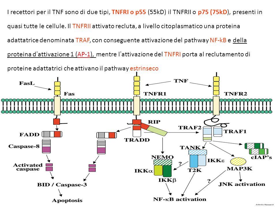 I recettori per il TNF sono di due tipi, TNFRI o p55 (55kD) il TNFRII o p75 (75kD), presenti in quasi tutte le cellule. Il TNFRII attivato recluta, a livello citoplasmatico una proteina adattatrice denominata TRAF, con conseguente attivazione del pathway NF-kB e della proteina d'attivazione 1 (AP-1), mentre l'attivazione del TNFRI porta al reclutamento di proteine adattatrici che attivano il pathway estrinseco