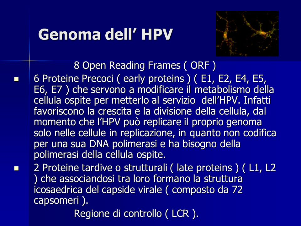 Genoma dell' HPV 8 Open Reading Frames ( ORF )