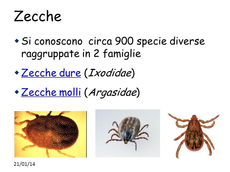 Zecche Si conoscono circa 900 specie diverse raggruppate in 2 famiglie