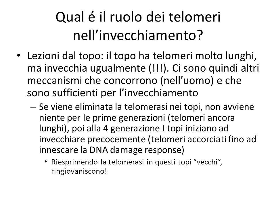 Qual é il ruolo dei telomeri nell'invecchiamento