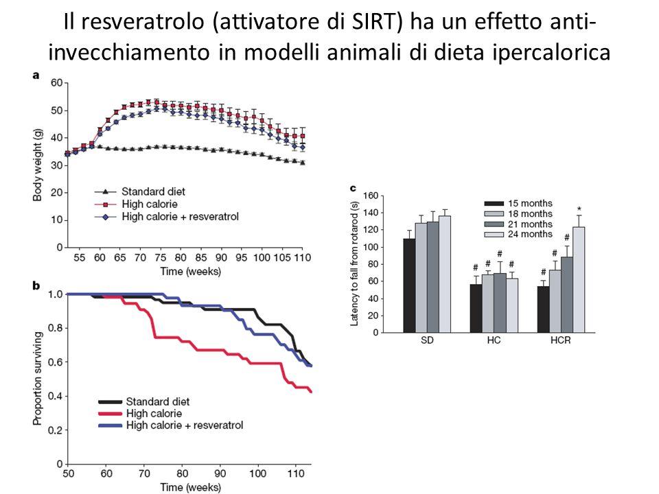 Il resveratrolo (attivatore di SIRT) ha un effetto anti-invecchiamento in modelli animali di dieta ipercalorica