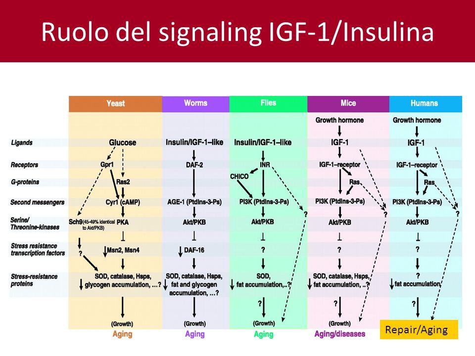 Ruolo del signaling IGF-1/Insulina