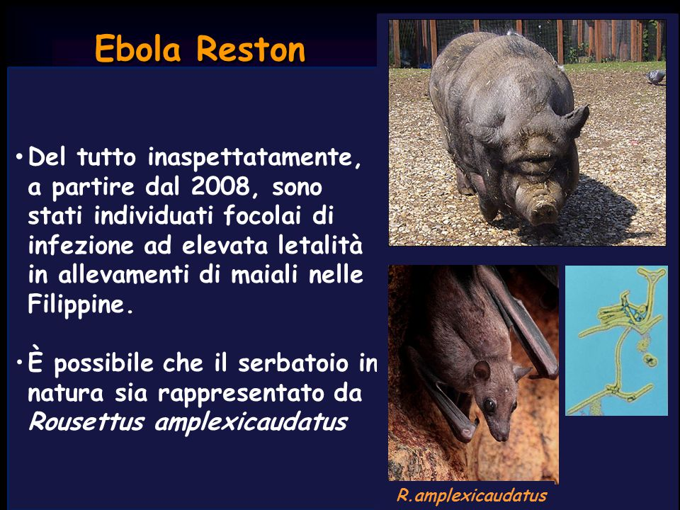 R.amplexicaudatus Ebola Reston.