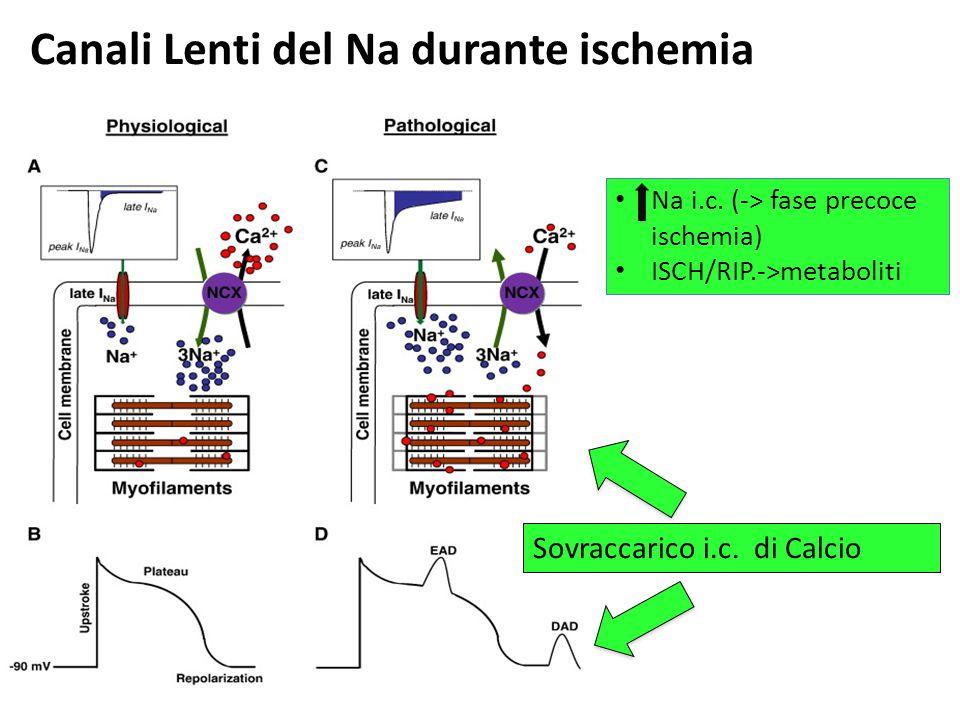 Canali Lenti del Na durante ischemia